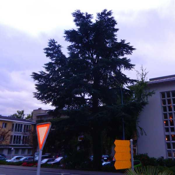 Weihnachtsbeleuchtung Außen Für Große Bäume.Vorbereitung Montage Apesa